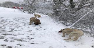 Uludağ'daki Sahipsiz Hayvanlar Düzenli Olarak Besleniyor