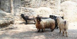 Kayıp Keçileri Zabıta Ekipleri Buldu