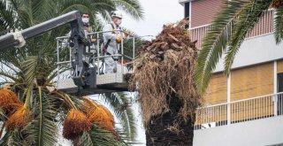 Palmiye ağaçlarına koruma kalkanı