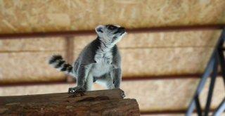 Hayvan Parkı'nın Yeni Misafirleri; Lemurlar