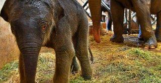 İzmir'in fil ailesi üçüncü yavrusuna da kavuştu