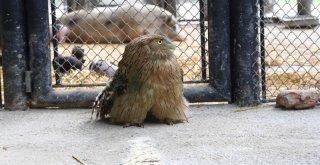 Nesli Tükenmekte Olan Balık Baykuşu, Büyükşehir'in Koruması Altında