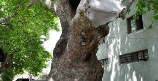 Anıt ağaçlar emin ellerde