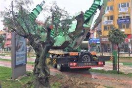 Asırlık zeytin ağacı yeni toprağıyla buluştu