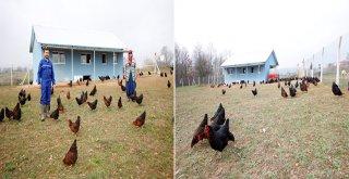 Büyükşehir'den yüzde 50 hibeli gezen tavuk desteği