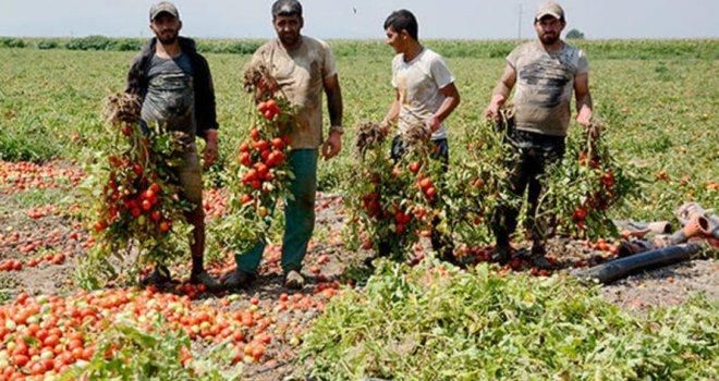 Karacabey'de domates hasadı başladı