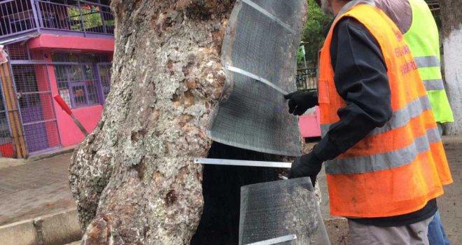 İzmir Büyükşehir Belediyesi'nden anıt ağaçlara gençlik aşısı