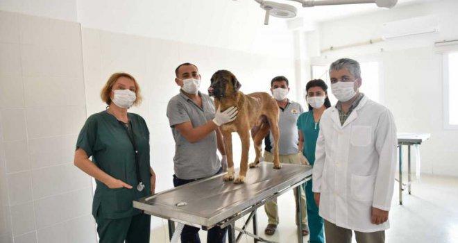 Büyükşehir veterinerleri Minnoş'u iyileştirdi