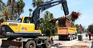 Bisiklet Yolu Proje Alanındaki Palmiyeler Taşınıyor